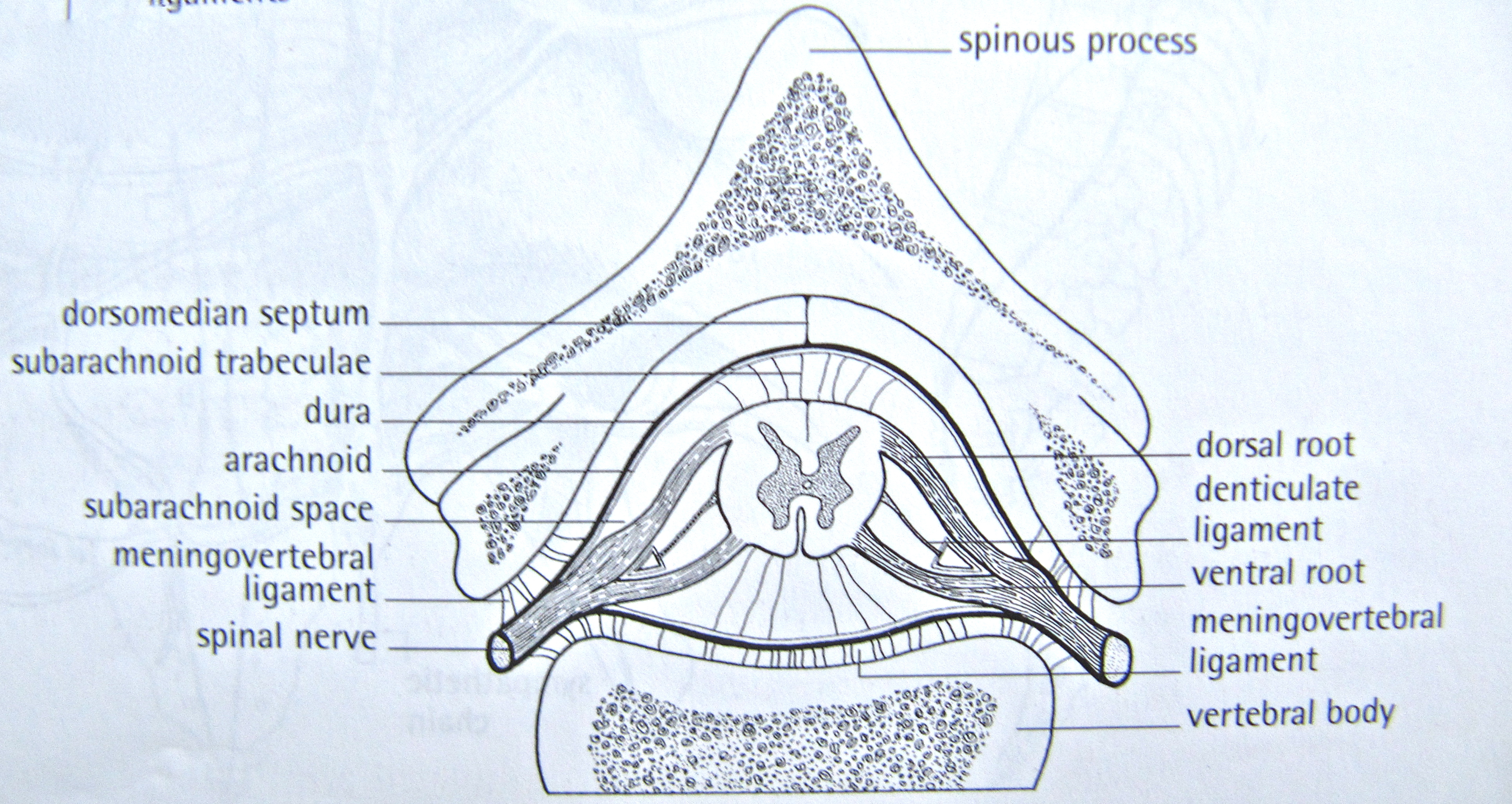Notes On Anatomy And Physiology The Dorsal Cavity And Its