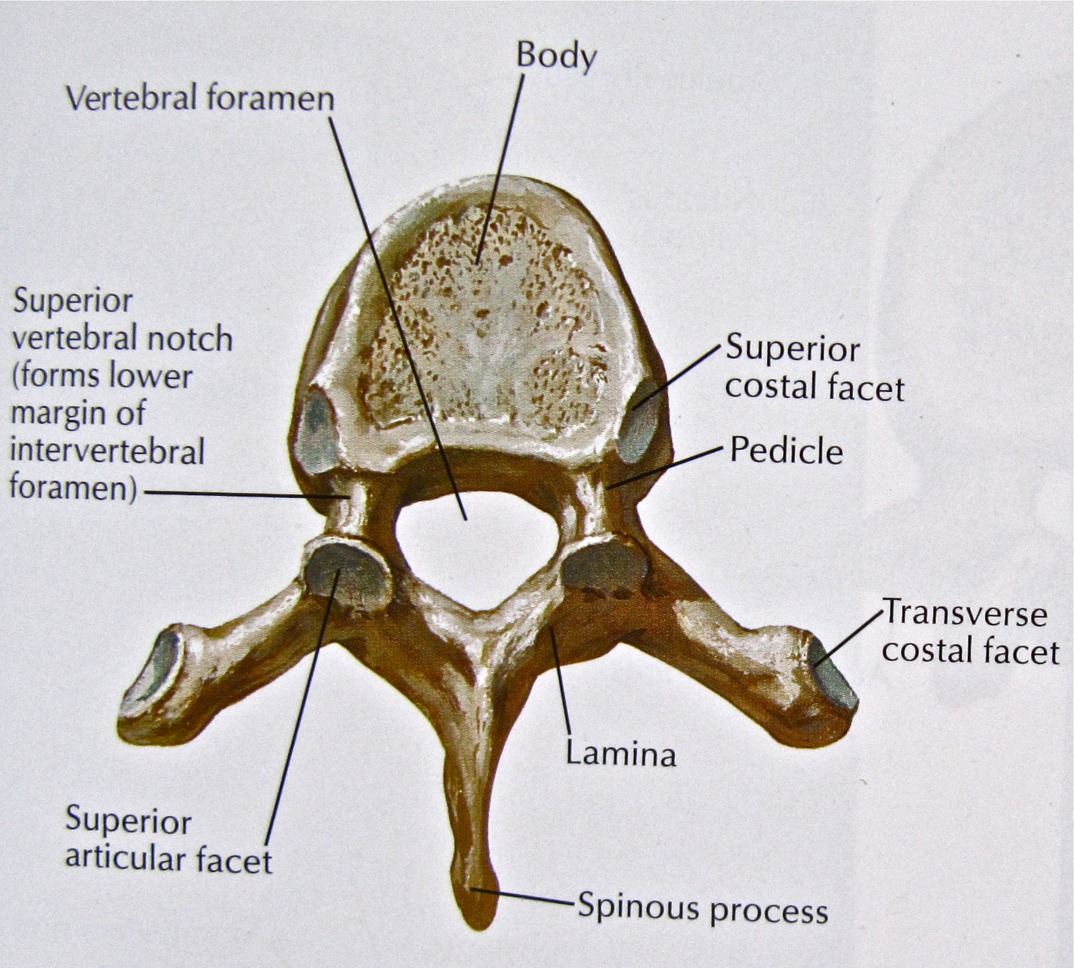 Notes On Anatomy And Physiology Facet Joints Of The Spine