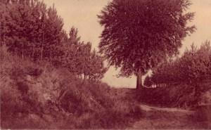 virginal-arbre_du_midi_napoleon-pieron