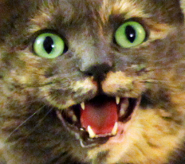 cat screaming for food