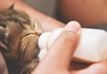 weaning kittens how to wean a kitten