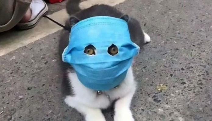 cat wearing coronavirus mask