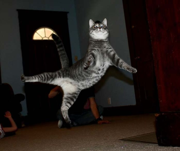 grey kitty leaps in the livingroom leap day