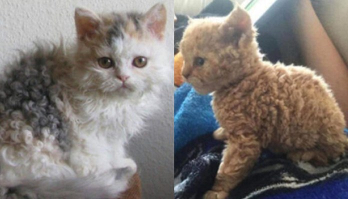 poodle cats cats with fluffy curls are shown side by side