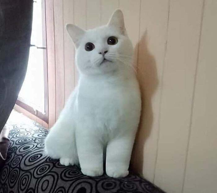 Reddit white cat with kitty cankles
