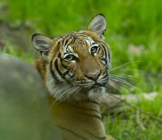 a tiger at the Bronx Zoo