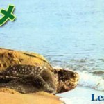 世界最大の亀オサガメが何故か秋田で発見!【世界巨大生物シリーズ】