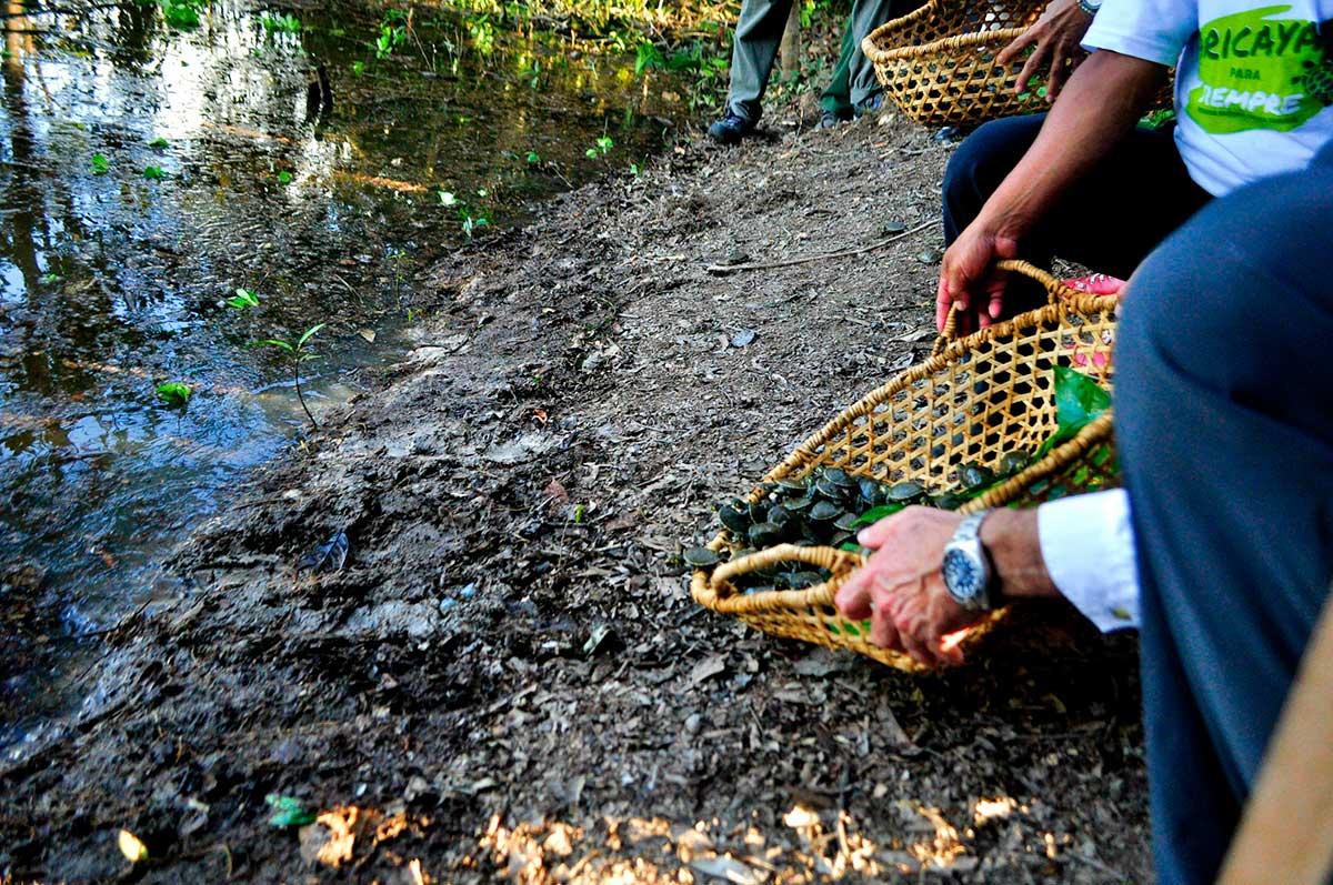 grupo-aje-y-municipalidad-de-maynas-liberaron-1040-crias-de-taricaya-en-el-rio-nanay