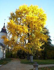 185px-Radziejowice_ginkgo_biloba02