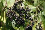 fructele de soc