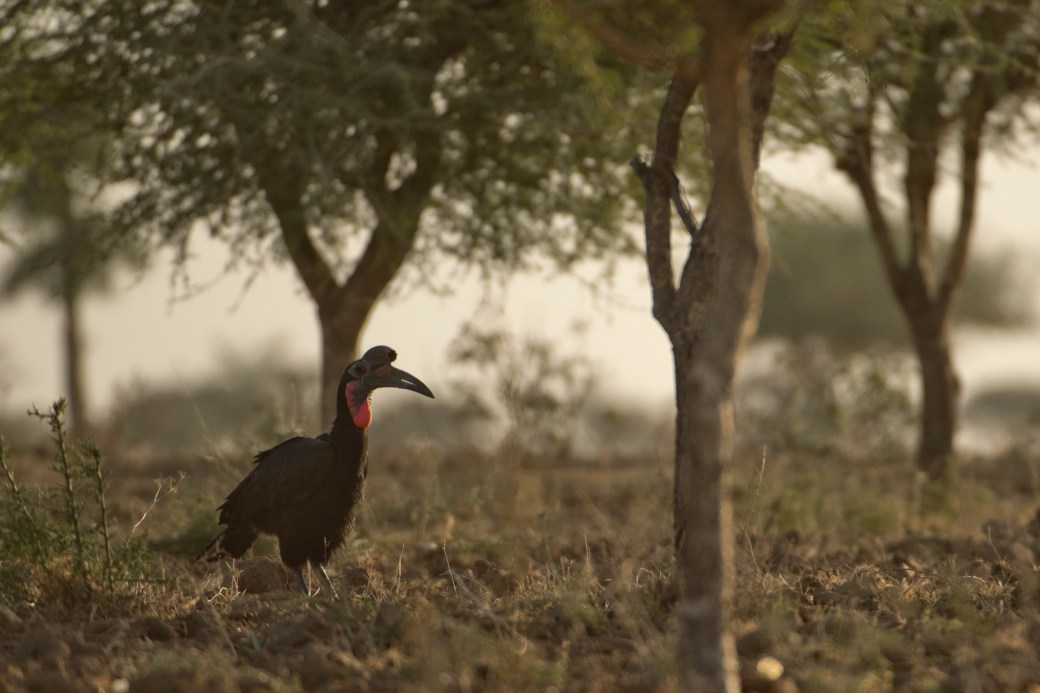 Northern Ground hornbill_KV