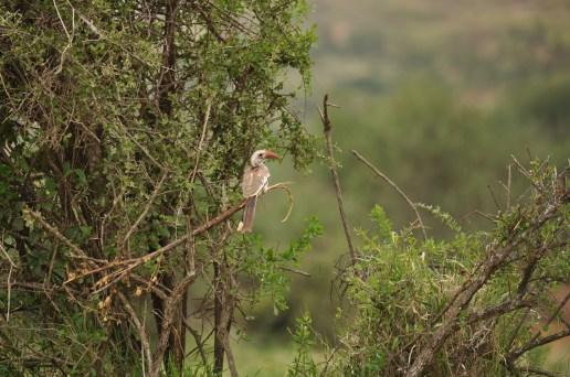 Red-billed hornbill_TRSR2