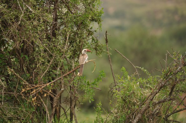 Red-billed hornbill_TRSR2