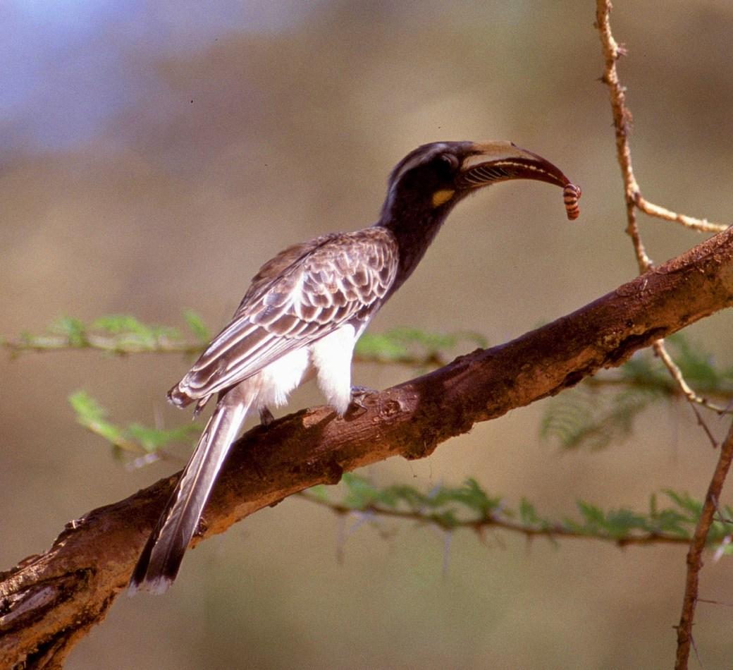 African Grey Hornbill female 3 Kenya MS