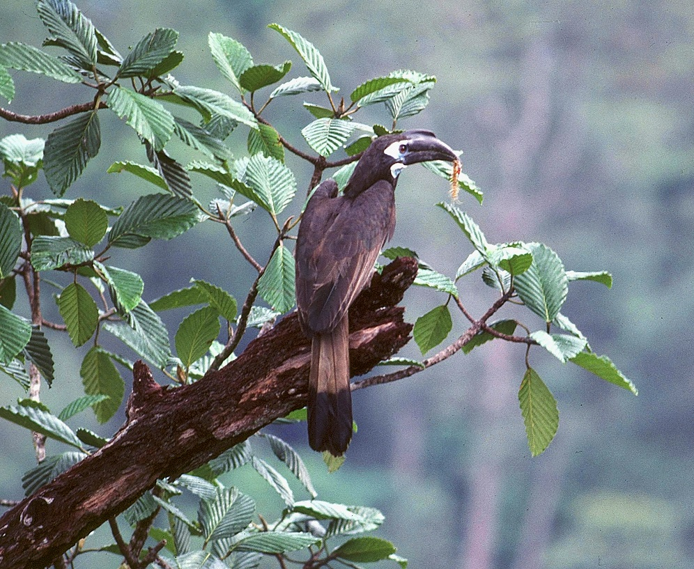 Bushy-crested Hornbill male with centipede prey Endau Rompin, Malaysia Photo Morten Strange