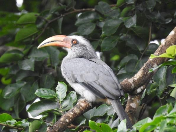 DSCN7389 Malabar grey male_AD