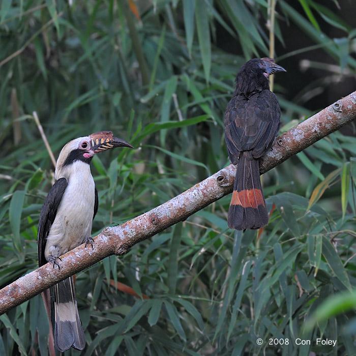 Luzon Hornbill_Con Foley