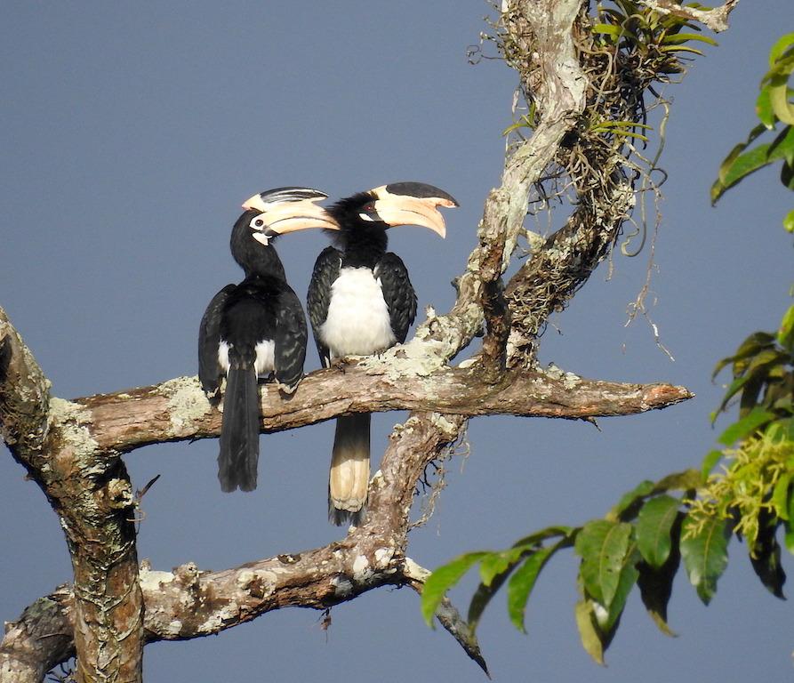 Malabar Pied hornbill_Aparajita Datta
