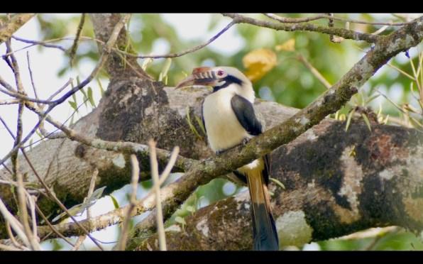 Mindoro Hornbill 2_Nicky Icarangal_resize