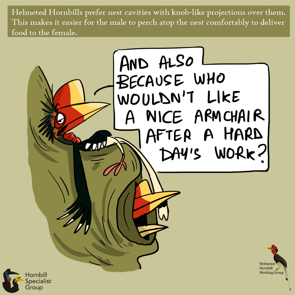 helmeted hornbill cartoons_web 5