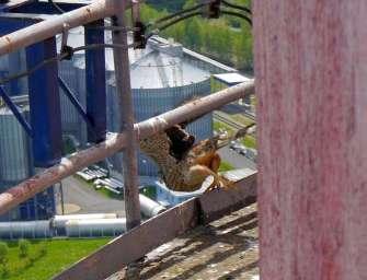 Sokolí mláďata na komíně teplárny