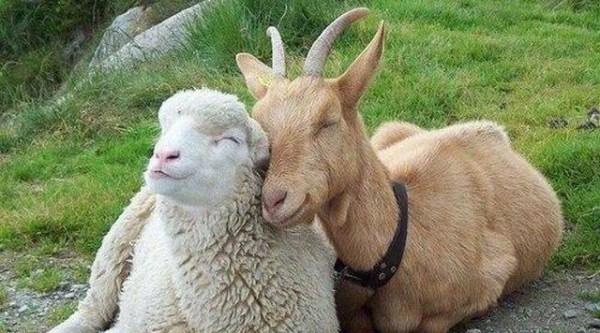 Белоруссия отказывается от овец и коз из Ивановской ...