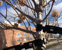 A young tree draws strength from rubber bracing outside of Charles V. Park Library.