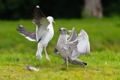 Two seagulls fighting over a fish on green ground