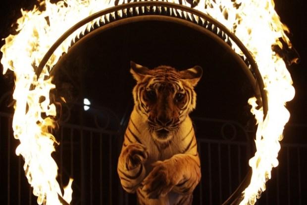 tigre-circo
