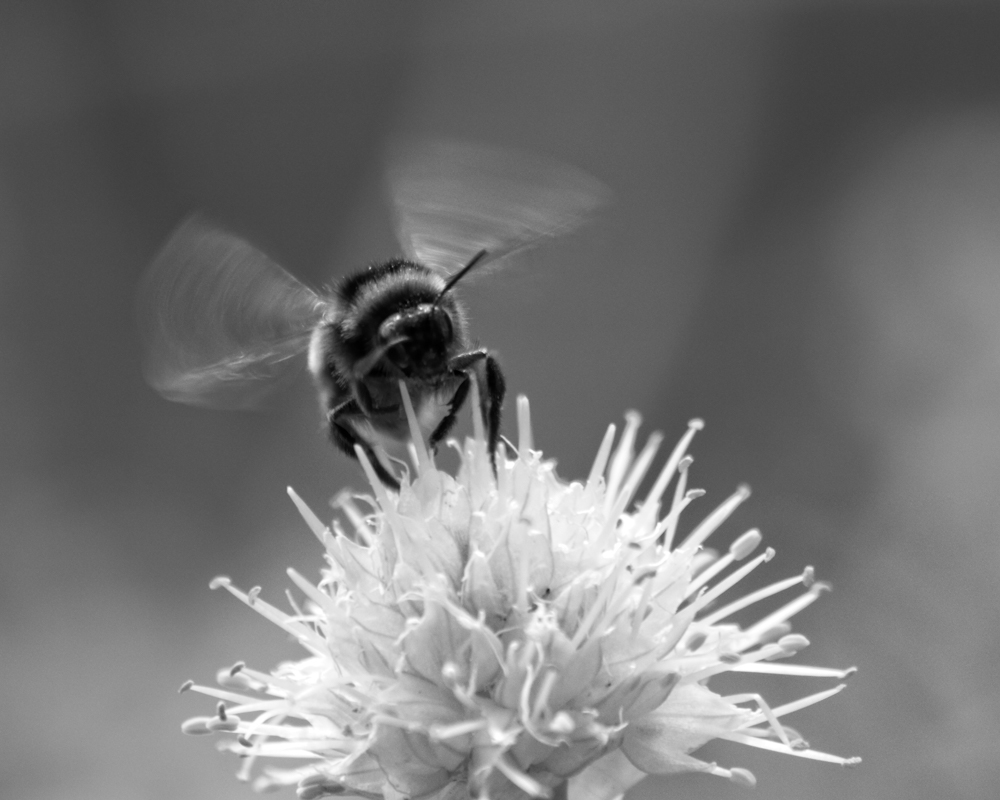 Black and White image of a bumble bee.