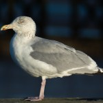 even commonplace birds like this Juvenile Herring Gull make good photographic subjects