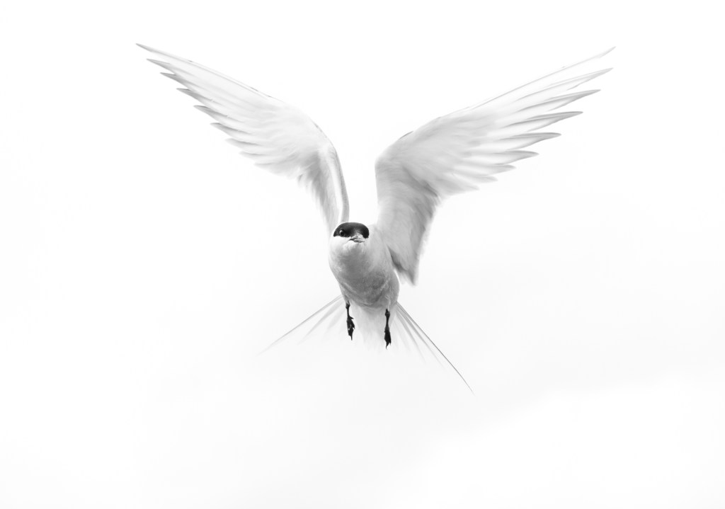 High Key Arctic Tern