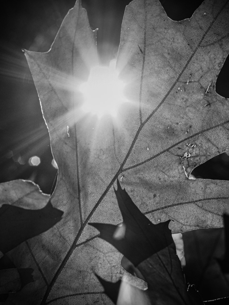Categories: Shallow abstract is observational photography. Sun shining through a hole in an oak leaf.