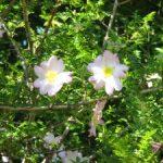 バラの下位分類/原種バラとは? 基本種、自然交雑種、亜種、選抜個体などを紹介
