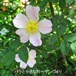 原種のバラ(Species)世界の主要な原種バラを写真つきで紹介!