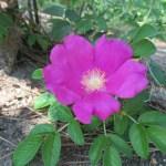 バラの花図鑑/「ロサ・ルゴサ」(ハマナス)は、修景バラとしても利用される強健で美しい原種バラ