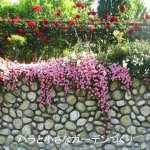 バラの分類/「修景バラ」は、あまり手入れしなくても元気によく咲くバラ!