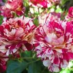 バラの分類/バラの花びらの模様─8つの複色の種類をご紹介!
