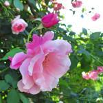 バラの花図鑑/エレガントな花形、多花性、しかもダマスク系の強香でトゲが少ない!「スパニッシュ・ビューティー」は三拍子も四拍子もそろった名つるバラ!