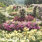 花咲きファーム「デビッド・オースチンのイングリッシュ・ローズガーデン」バラ祭り(大阪泉南)見頃、口コミ、開園時間、入園料、アクセス情報<本国イギリス以外では唯一のデビッド・オースチン・ロージズ社公式ガーデン!>