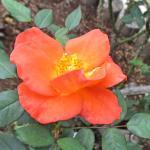 バラの花図鑑/「プリンセス・ミチコ」は、皇太子妃時代の美智子皇后に捧げられたバラ!