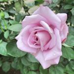 バラの花図鑑/「ブルームーン」は整った花形、強香、しかも育てやすい。紫バラを代表する歴史的名花!