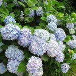 アジサイの種類と人気品種、上手な育て方と剪定のしかた、さらに花言葉まで詳しくご紹介!