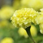淡い色のかわいいマリーゴールドもあるよ! マリーゴールドの特徴、花言葉、種類、育て方まで詳しくご紹介!