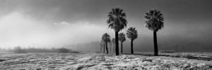 PalmWarm Springs-Palm Trees Trees In Fog