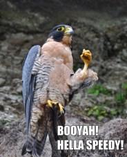 The Perigrine Falcon 02