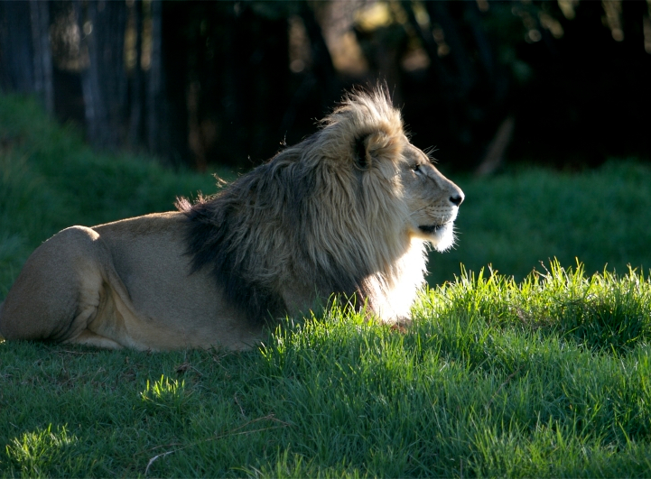 KIMBA Lionsrock