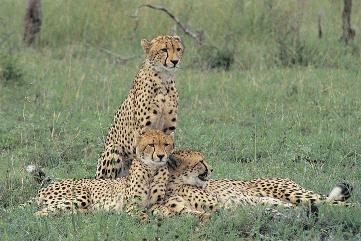 cheetahs-1