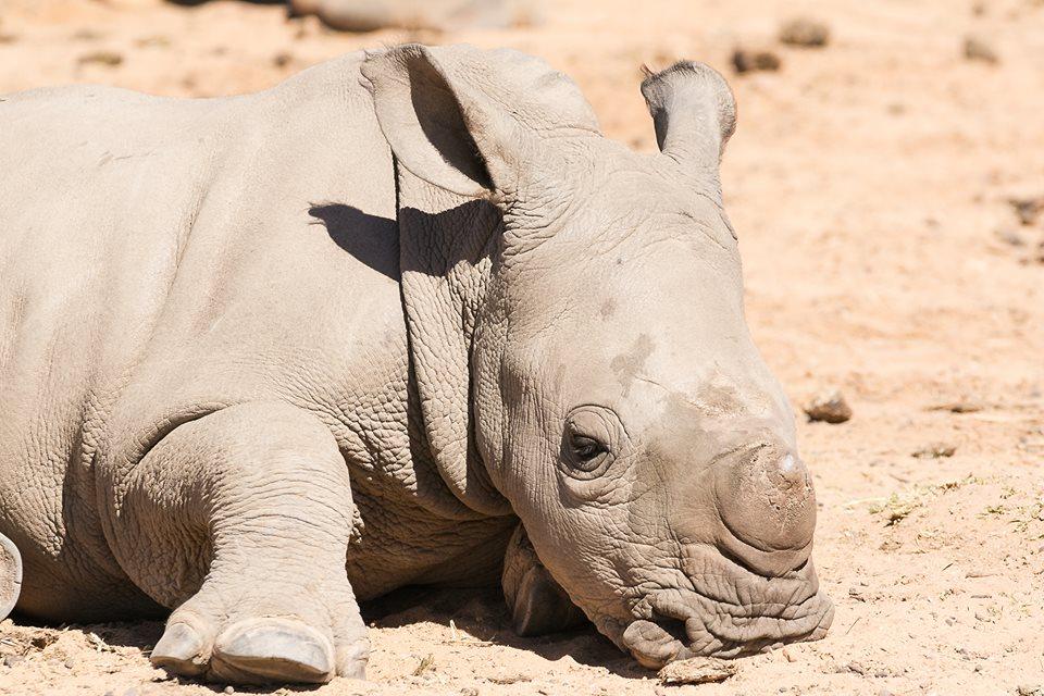 Rhino Vinnie