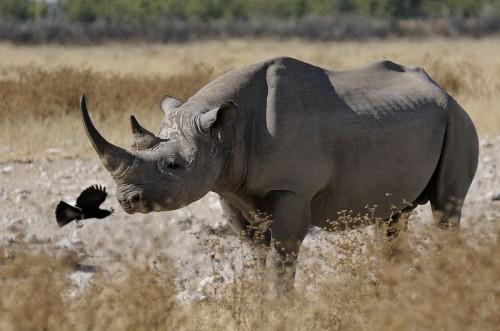 Rhino_Namibia